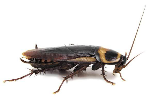 Присутствие тараканов не только неприятно, но и может стать причиной различных заболеваний